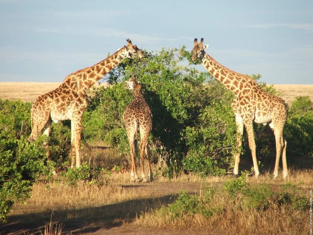 Phénomène de la girafe - stratologies